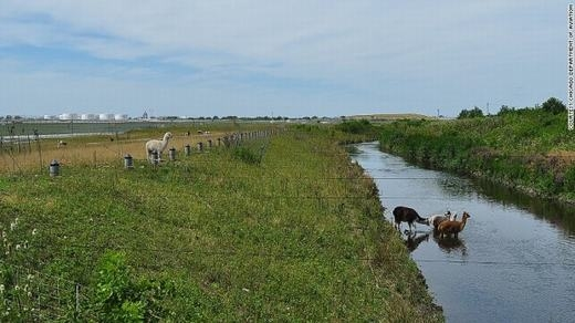 Những chú lạc đà đang bảo vệ dê. (Ảnh: Internet)