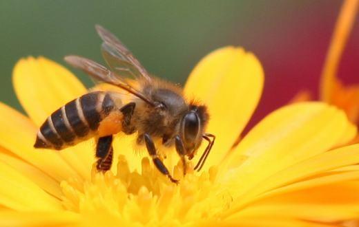 Ong có khả năng phát hiện ma túy. (Ảnh: Internet)