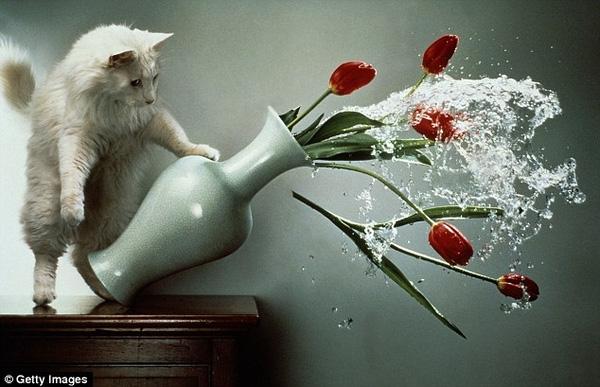 Doughtery cho rằng, mèo thông minh hơn chúng ta tưởng rất nhiều. Hành vi vờn và nghịch đồ vật vốn là bản năng của mèo để chúng luyện tập săn mồi.