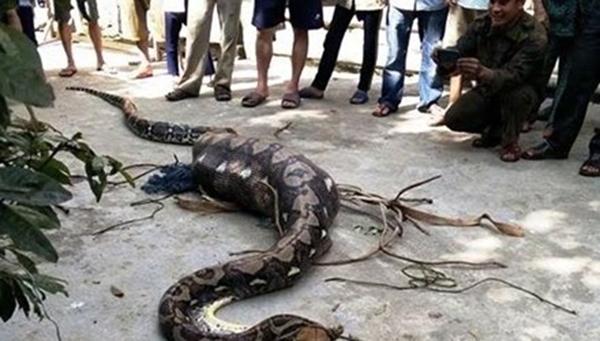 Khi bị phát hiện, con trăn đã nuốt chửng con bê vào bụng. (Ảnh: Internet)