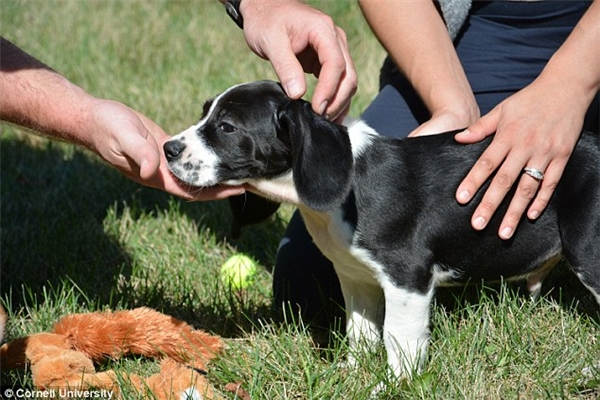 Nếu mới nhìn qua, chắc hẳn bạn nghĩ những chú chó này bình thường như bao chú chó khác. Tuy nhiên, đây chính là kết quả của lần thụ tinh trong ống nghiệm (IVF) và chúng cũng là những chú chó đầu tiên ra đời bằng phương pháp này. (Ảnh:Đại học Cornell)