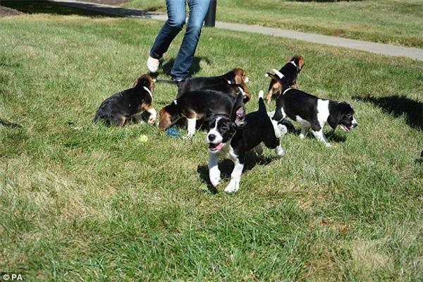Cả 7 chú chó được ra đời sau khi các nhà khoa học cấy 19 phôi thaivào bụng một côchó cái.Trước đó, các nhà khoa học đã cho thụ tinh trứng trong ống nghiệm để tạo ra phôi thai. Điều kiện để cấy là chú chó cái phải vào đúng chu kì sinh sản. (Ảnh:PA)