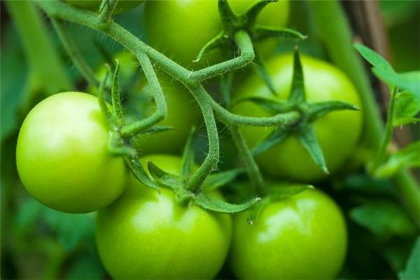 Khi ăn cà chua xanh, khoang miệng có cảm giác đắng chát. Ảnh minh họa.