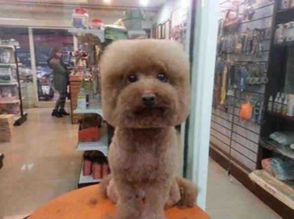 Cắt tóc đầu vuông cho cún cưng nở rộ vào giữa năm nay. (Ảnh: Internet)
