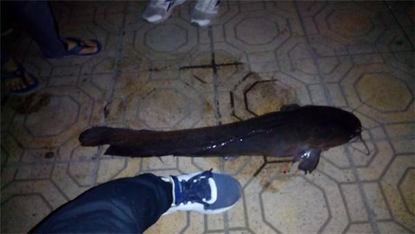 Dù sao sự xuất hiện của con cá trê khủng này cũng khiến người xem thích thú, tò mò.