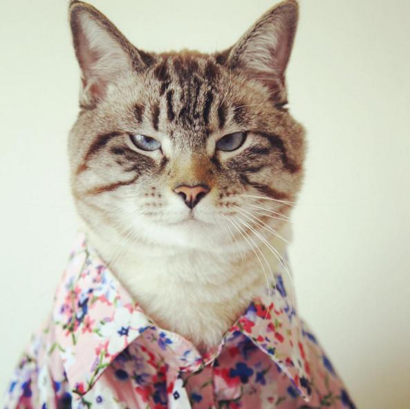 """Tiếp nối ý tưởng của United Bamboo, rất nhiều công ty thời trang khác cũng dùng mèo để làmmẫu cho các trang phục của mình.Rất nhiều hiện tượng""""Mèo fashionista"""" từ đó nổi lên trên các trang mạng xã hội ở Mỹ."""