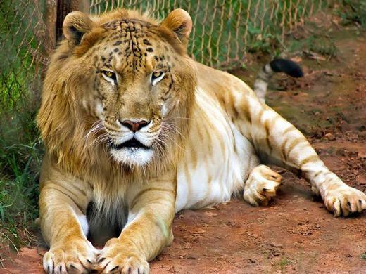 """Đừng nhầm lẫn Tigon ở đây là một loại hoa nhé, bởi nó cũng được đặt tên cho """"tác phẩm"""" được lai tạogiữa sư tử cái và hổ đực. Trái với Liger, Tigon có trọng lượng khá nhỏ. (Ảnh: Bored Panda)"""