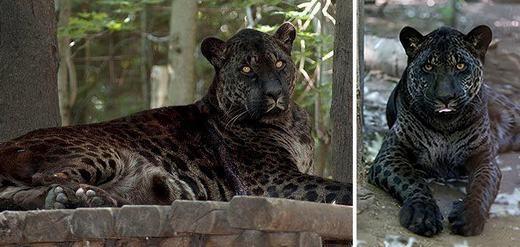 Jaglionlà sự kết hợp giữa beo đực Mỹ và sư tử cái. Tuy nhiên, không nhiều con được ra đời, chỉ một số đang sống tại Canada. (Ảnh: Bored Panda)