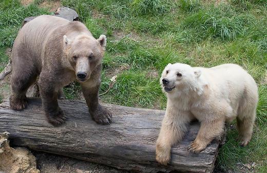Gấu Bắc cực khi kết hợpvới gấu nâu cho ra con lai mang tên Grolar Bear. (Ảnh: Bored Panda)