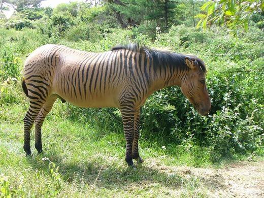 Nếu cho bất kì giống ngựa (cái) nào giao phối với ngựa vằn đực sẽ cho ra Zebroid. (Ảnh: Bored Panda)