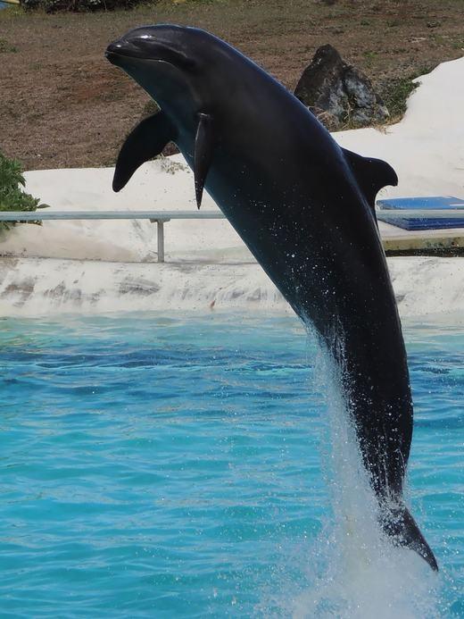 Wholphin là kết quả của sự kết hợp giữa cá giả hổ kình đực (false killer whale) và cá heo (dolphin) cái. Chú cá lai này cực hiếm, hiện chỉ có1 con duy nhất đang tồn tại trên thế giới. (Ảnh: Bored Panda)