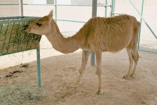 Cama là con vật được trung tâm Sinh sản Camel tại Dubai tạo ra năm 1998 bằng thụ tinh nhân tạo. Đây là sự kết hợp của lạc đà và Llama– loài có ngoại hình tương tự lạc đà, sống chủ yếu ở dãy núi Andes thuộc Peru và Bolivia. (Ảnh: Bored Panda)