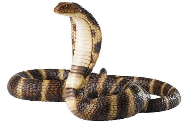 Những con rắn hổ mang này nằm trong danh sách các động vật quý hiếm cần được bảo vệ ở Trung Quốc.