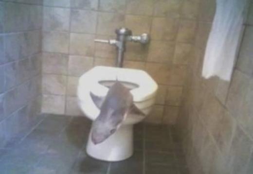 Cá mập xuất hiện trong bồn cầu một phòng vệ sinh công cộng.