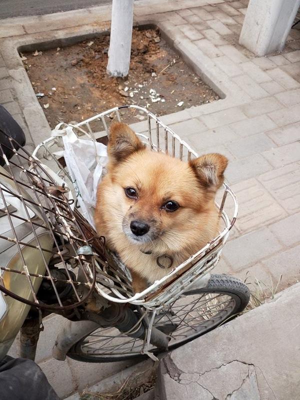 Chú chó dễ thương thường ngồi trên giỏ xe. (Ảnh: Internet)