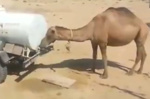 Chú lạc đà thông minh đã biết tự vặn vòi để uống nước một cách thuần thục. (Nguồn: Internet)