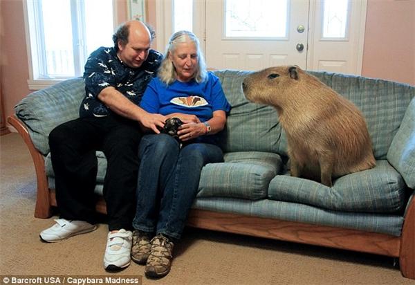 Chú chuột lang có kích thước không tưởng. (Ảnh: Internet)