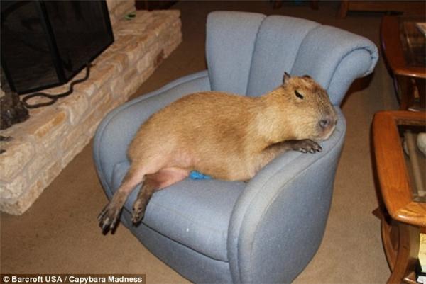 Hoảng hồn với thú cưng chuột lang nặng đến 51kg