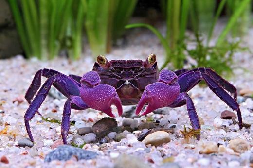 Một giống cua ma cà rồng (Vampire crab) mới được phát hiệncó tên khoa học Geosesarma dennerle. Vào tháng 3, các nhà khoa học thông báo họ đã tìm ra được nguồn gốc của loài cua này có từ Đông Nam Á. Loài cua này hiện được nuôi làmcảnh với giá trị cao. (Ảnh: Chris Lukhapu)