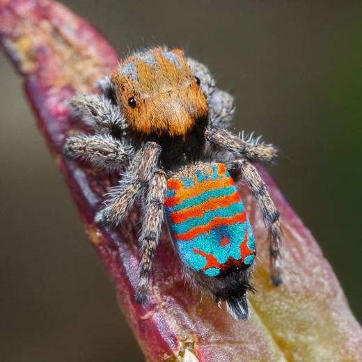 Vào tháng 3, các nhà khoa học xác định thêm ba loài nhện vũ công mới (Peacock spiders) ở miền Tây nước Úc, hai trong số đó được đặt biệt danh Skeletorus và Sparklemuffin. Những con nhện vũ công đực mang trên mìnhmàu sắc sặc sỡ và cóđiệu nhảy lắc giật để thu hút bạn tình. (Ảnh: Jurgen Otto)