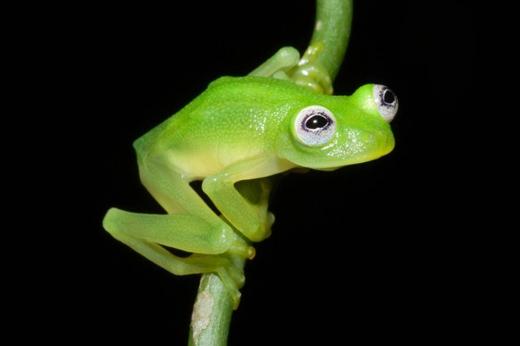 Vào tháng 2, các nhà khoa học thông báo họ đã phát hiện một loài ếch thủy tinh ở Costa Rica cóhình dáng giống nhân vật con rối Kermit nổi tiếng. Loài ếch này có tiếng kêu giống như côn trùng vàcó lẽ đó là lído chúng khó bị phát hiện trong một khoảng thời gian dài. (Ảnh: Brian Kubicki)