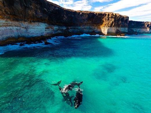 Những chú cá voi đầu bò phương Nam màu đen bóng nổi bật dưới nền nước xanh trong vắt.(Ảnh: Dominic Grimm/SkyPixel)