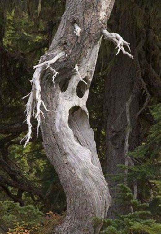 """Nếu nhìn thấy cây này vào ban đêm, 100% bạn sẽ """"hồn vía lên mây"""". (Ảnh: Internet)"""