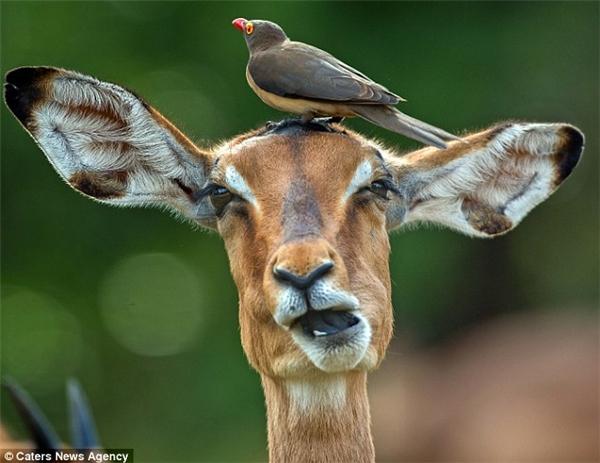 """Chú chim mỏ đỏ đậu rất lâu trên đầu con linh dương và thể hiện những cử chỉ """"âu yếm"""".(Ảnh: Internet)"""
