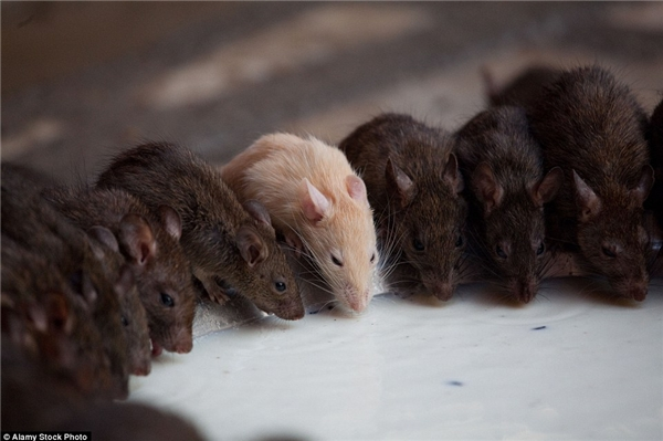Những con chuột bạch được xem là quýgiá hơn cả. (Ảnh: Internet)