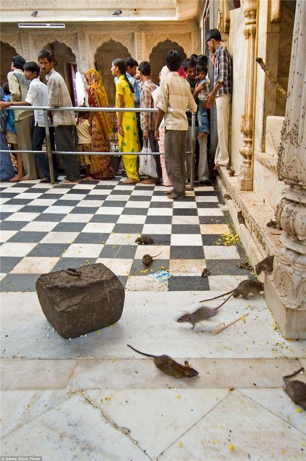 Những hình ảnh này cho thấy chuột được tự do đi lại khắp nơi và được chăm sóc rất kĩ ở đền Karni Mata. (Ảnh: Internet)