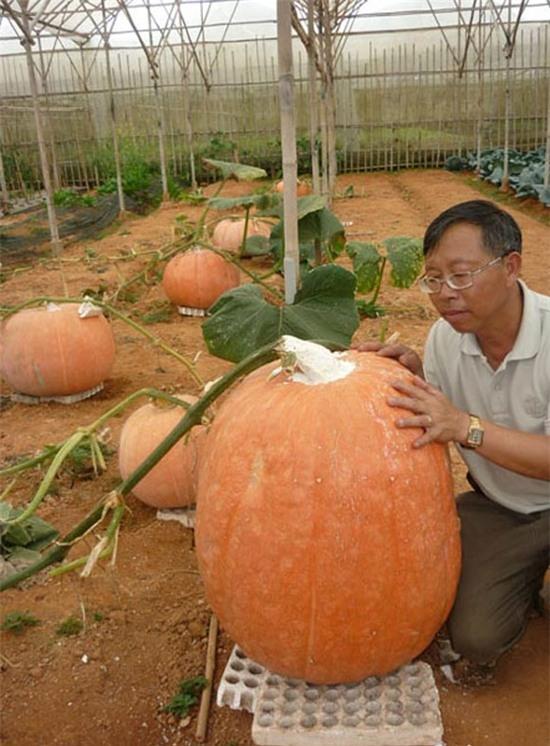 Quả bí ngô khổng lồ nặng 80 kg của ông Lê Hữu Phan được trồng trong nhà kính ở Đà Lạt. Hạt giống có nguồn gốc từ Mỹ. (Ảnh: Người Lao động)