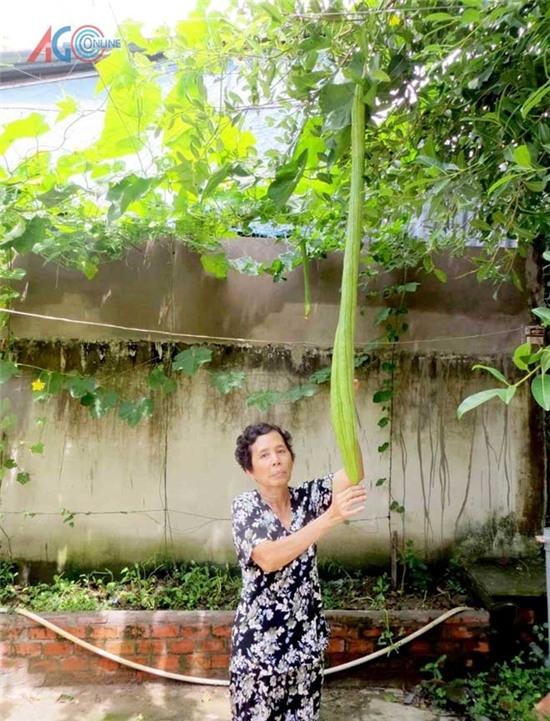 Năm 2014, giàn mướp của một gia đình tại thị trấn Phú Hòa, Thoại Sơn bất ngờ ra nhiều trái và điều kìlạ là những trái mướp này rất dài. Bình quân mỗi trái dài hơn 1 m, trái dài nhất là khoảng 1,3 m. (Ảnh: Báo An Giang)