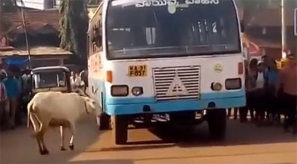 Sau 4 năm, bò mẹ vẫn nhận ra chiếc xe buýt đã đâm chết con nó.