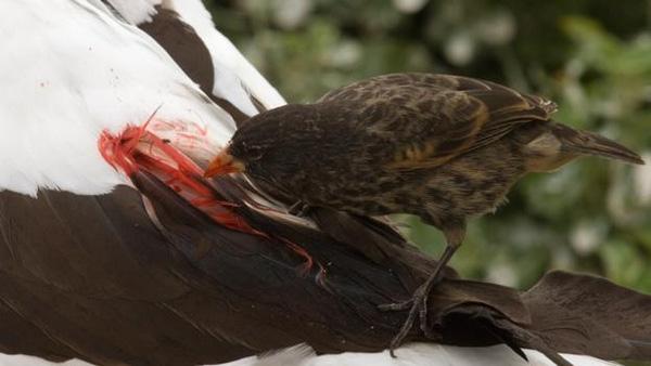 """Chim sẻ """"ma cà rồng"""" là loài hút máu rất độc ác. (Ảnh: Internet)"""