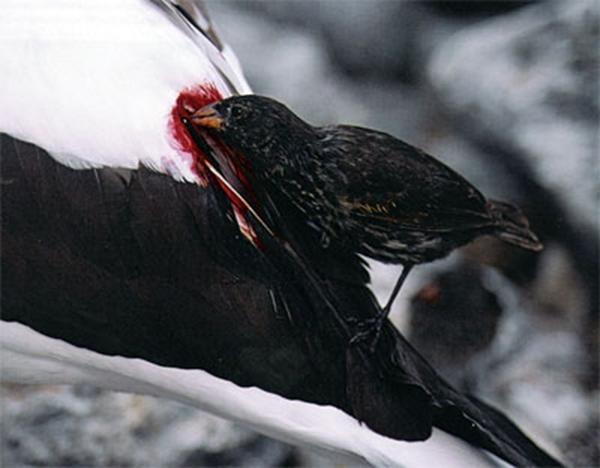 Con chim sẻ đục nát thân chim sula và hút máu cho đến khi cạn kiệt (Ảnh: Internet)
