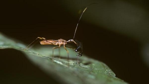 """Hơn 7.000 loài bọ """"ma cà rồng"""" sinh trưởng ở các khu rừng nhiệt đới. (Ảnh: Internet)"""