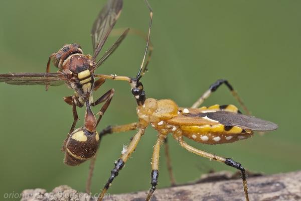 Loài bọ này cắm thẳng vòi vào cơ thể con mồi, hút máu cho đến chết. (Ảnh: Internet)