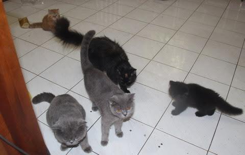 Mèo ngoại nhập từ Anh