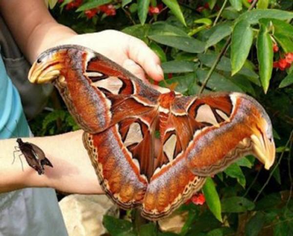 Bướm atlas là một trong những loài bướm lớn nhất hành tinh. (Ảnh: Internet)