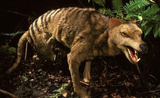 Chósói Tasmania là loài cực kì hung dữ. (Ảnh: Internet)