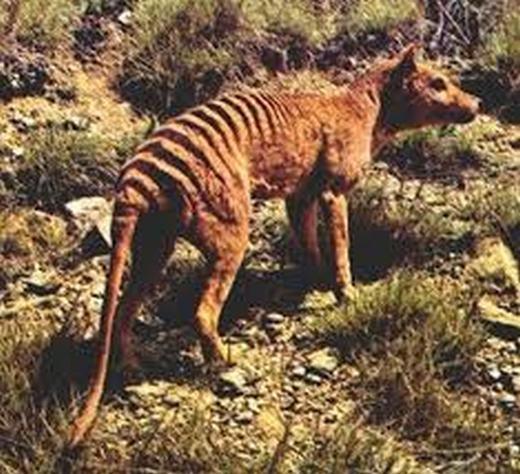 Đây là loài có khả năng săn mồi đỉnh cao, có thể kết liễu động vật khổng lồ chỉ sau một cú ngoạm. (Ảnh: Internet)