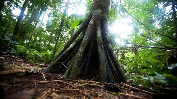 Kỳ lạ cây biết đi trong khu rừng đẹp như truyện cổ tích!