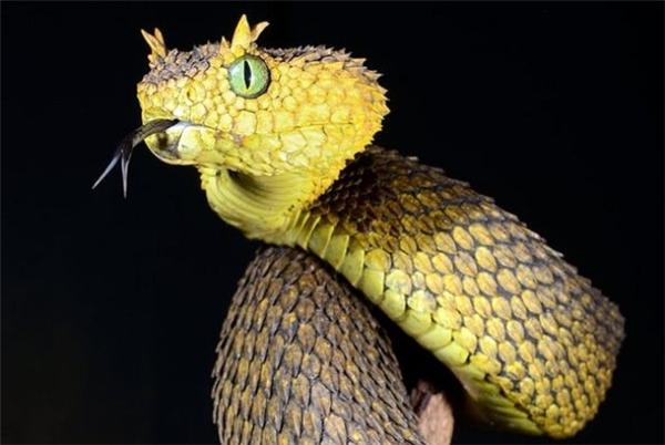 Rắn vảy gai nhỏ nhưng rất độc được chú ý bởi đôi mắt lớn và những chiếc vảy nhọn trên thân xếp đè lên nhau như lợp ngói, trông giống như lông (nên người ta còn gọi là rắn có lông nhưng thật ra không phải).