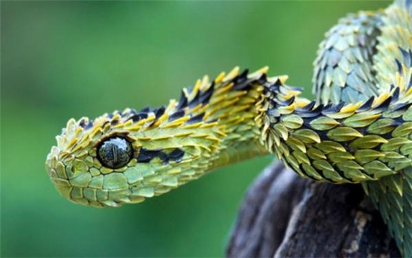 Không chỉ sở hữu lớp vảy kỳ lạ, loài rắn này còn có khả năng thay đổi màu sắc cơ thể để hòa lẫn với môi trường xung quanh khi chúng trốn tránh kẻ thù hay đánh lừa con mồi.