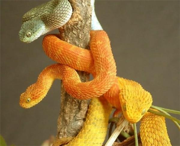 Nếu bị loài rắn này tấn công, nạn nhân có thể phải chịu đau đớn do vết thương sưng tấy, tắc mạch máu, thậm chí tử vong.