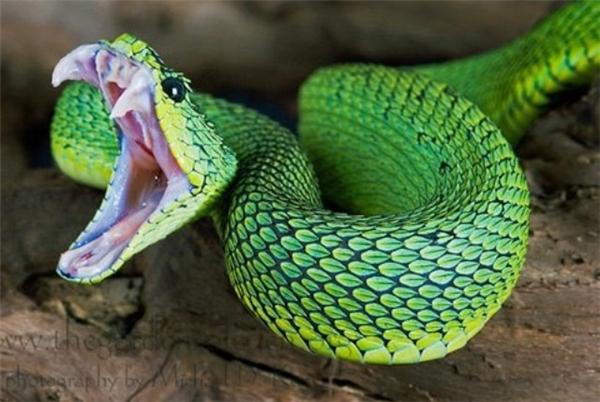Tuy nhiên, rắn vảy gai sống xa con người nên rất hiếm trường hợp bị cắn.