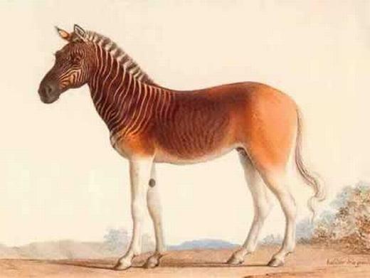 Loài ngựa có các sọc vằn kì lạ. (Ảnh: Oddee)