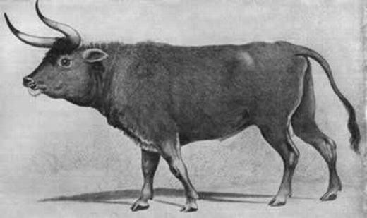 Loài bò rừng châu Âu biến mất vĩnh viễn do sự săn bắn của con người. (Ảnh: Oddee)
