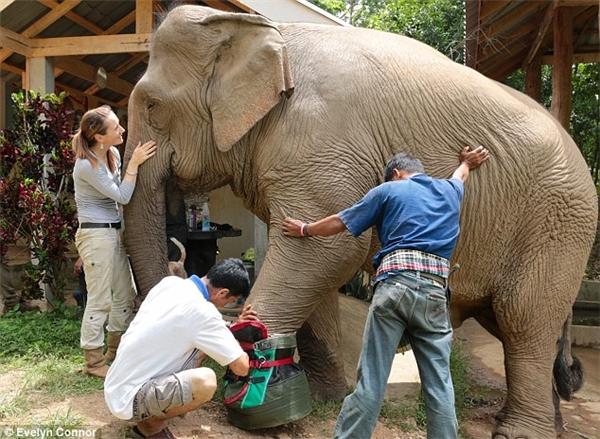 Cô voi đang được các nhà bảo vệ động vật mang chiếc giày khổng lồ. (Ảnh: Evelyn Connor)