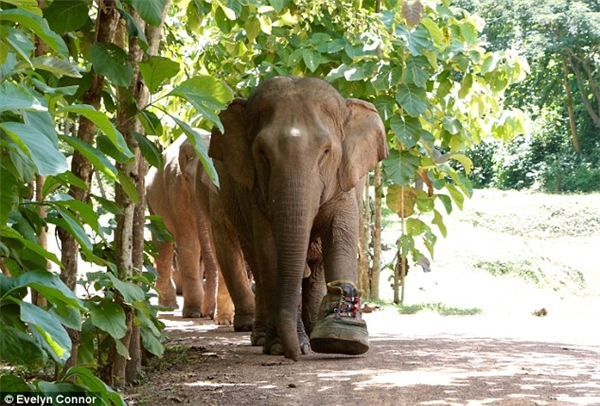 Ngạc nhiên trước chiếc giày khổng lồ dành cho cô voi bị tai nạn